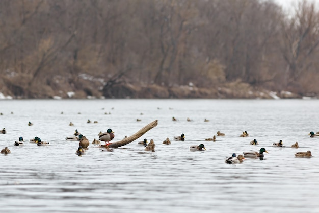 A flock of ducks on the water of the river in early spring