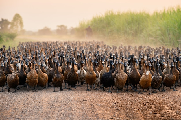 Flock of ducks with agriculturist herding on dirt road