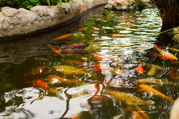 A flock of fish and a duck in the lake. decorative japanese carp koi. goldfish in a pond or river
