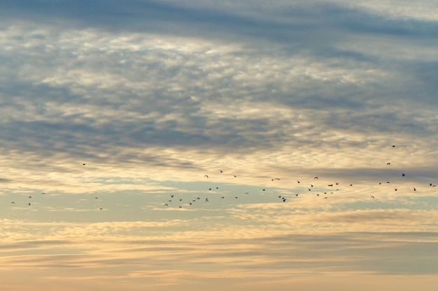 A flock of flying birds to the warm edges on the surfce of a sunset sky with clouds. bird migration