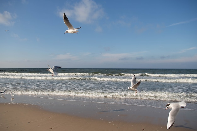 Flock of flying seagulls close-up on the coast of the baltic sea in autumn windy sunny day