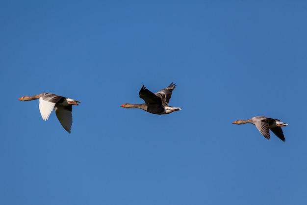 Flock of geese flying under blue sky