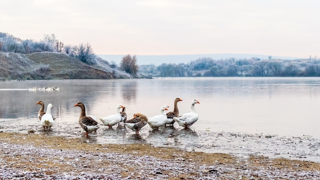A flock of geese on the frost-covered bank of the river