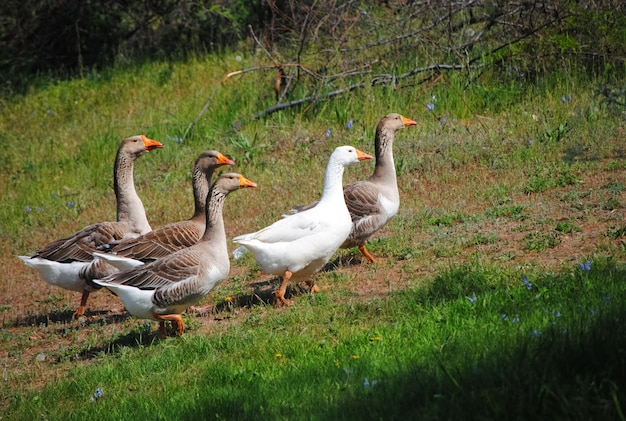 A flock of geese grazing on green meadow