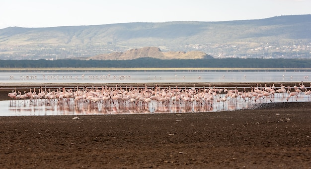 Flock of greater pink flamingos in kenya, africa