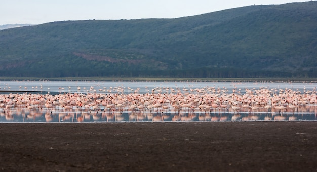 Flock of greater  pink flamingos