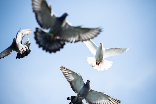 Flock of homing pigeon bird flying against clear blue sky