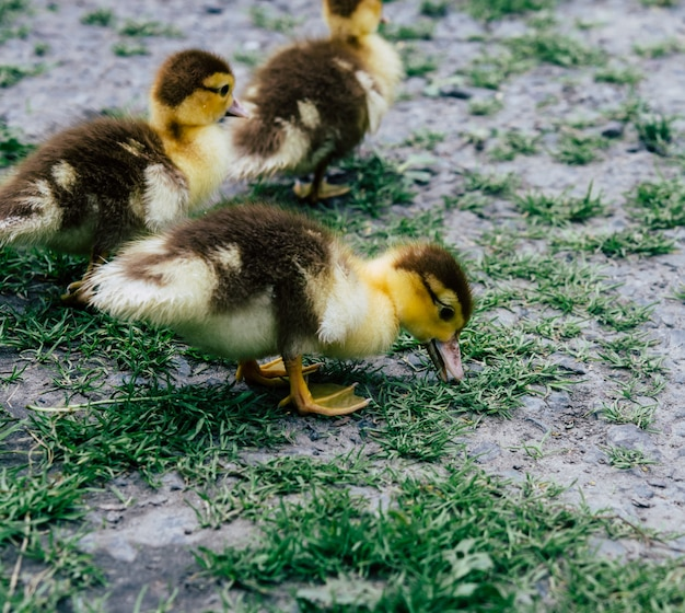 A flock of little yellow ducklings running around the green grass