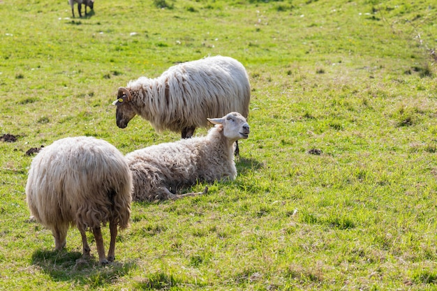 Flock of long-haired sheep (light wool) of white color, grazing on green meadow. cantabria.