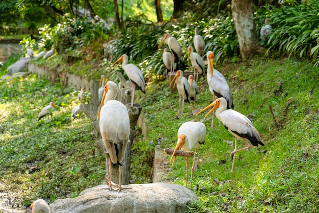 A flock of milk storks sits on a green lawn in a park