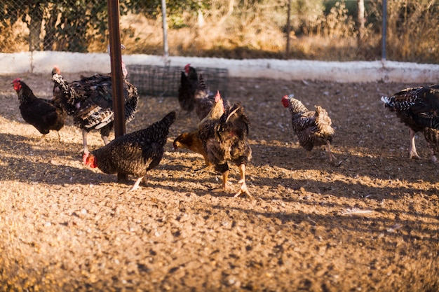 Flock of mixed breed chickens in farm