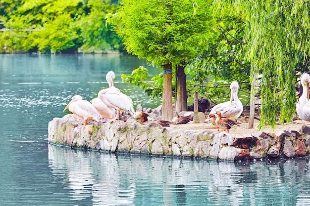 Стая американских белых пеликанов в естественной среде обитания.