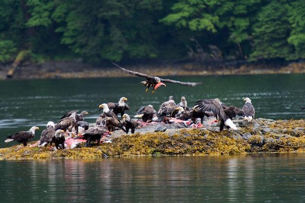Стая лысых орлов на острове, региональный район скина-королевы шарлотты, хайда гвайи, грэм-айленд