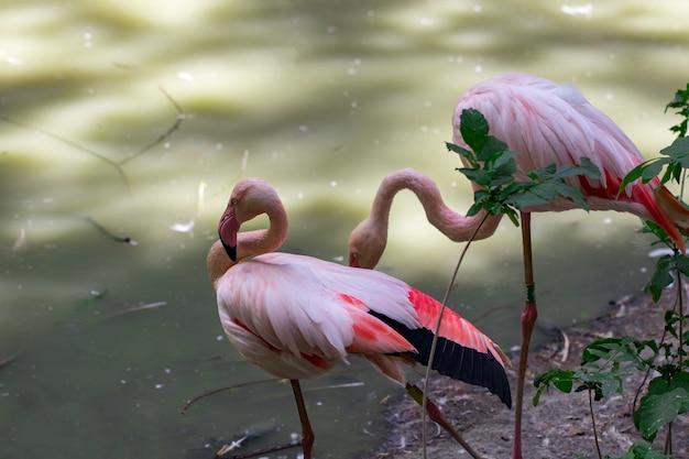 강 근처에있는 아름다운 핑크 플라밍고의 무리.
