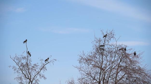 秋の鳥の群れが木から離陸し、カラスの群れが黒い鳥の乾いた木になります。空に鳥のカラスの夕焼けオレンジ色のシルエット。