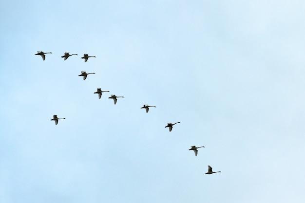Стая птиц, лебеди, летающие высоко в голубом небе. полет в v-образном строю