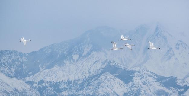 米国ユタ州のグレートソルトレイク周辺の山々に囲まれて飛んでいるカナダのガチョウの群れ