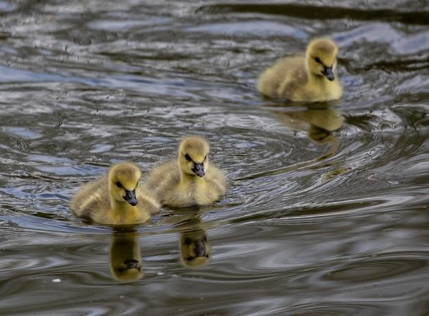 湖で泳ぐかわいいアヒルの子の群れ
