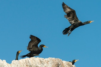 Flock of Double-Crested Cormorants at coast, Lake of The Woods, Ontario, Canada