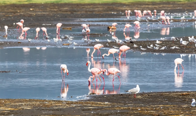 Стая фламинго в воде. накуру, кения