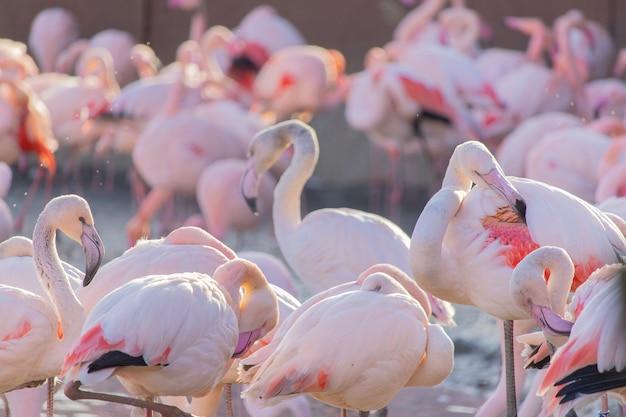 動物の聖域の池の岸を歩いているフラミンゴの群れ