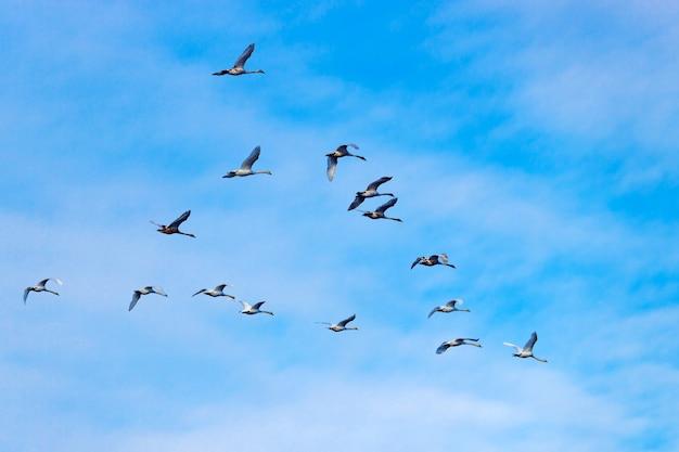 青い空を背景に飛んでいる白い白鳥の群れ