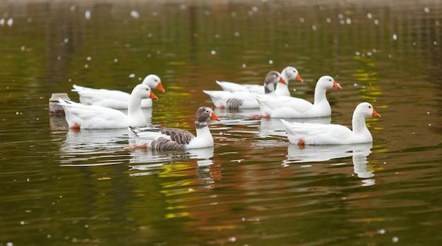 Стая гусей в озере