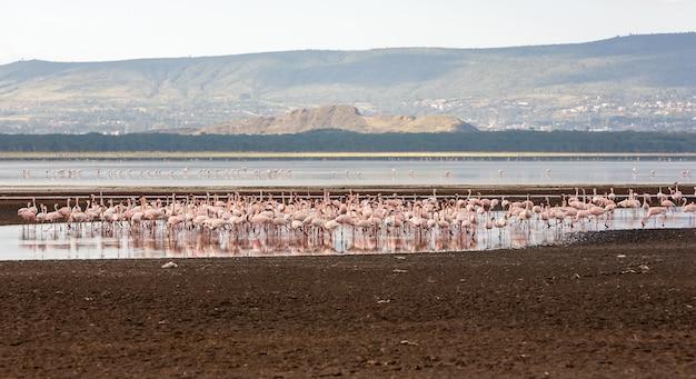 アフリカ、ケニアの大きなピンクのフラミンゴの群れ