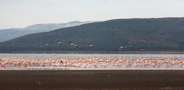 大きいピンクのフラミンゴの群れ