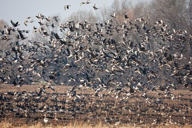 Стая серых гусей взлетает с поля в осенней природе