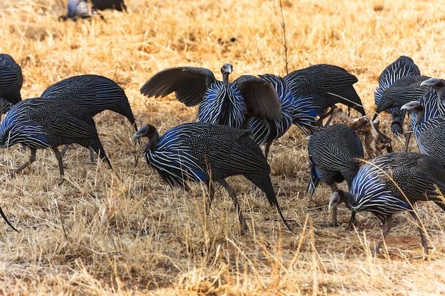 ホロホロ鳥の群れ。タンザニアの青い鳥。アフリカ