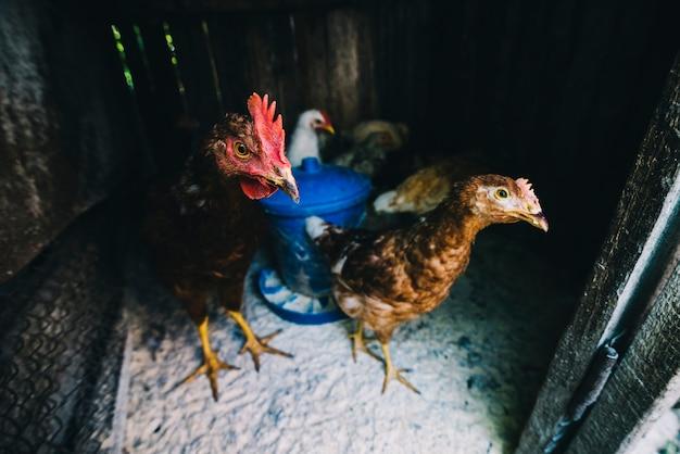 鶏の鶏の群れ