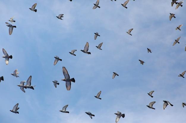 Стая почтовых голубей, летящих против ясного голубого неба