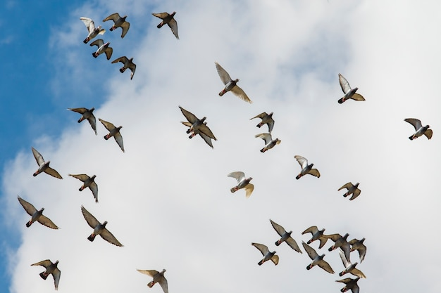 曇り空を背景に飛んでいる伝書鳩の群れ
