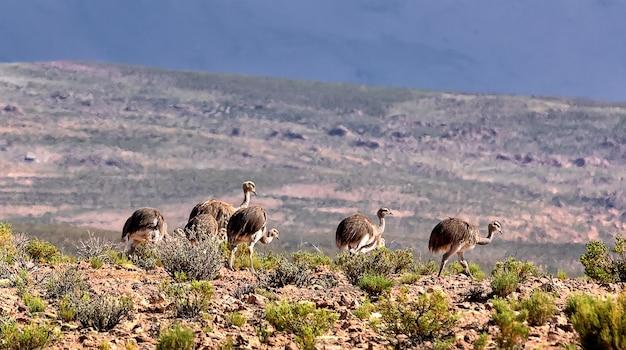Стая малых реев гуляет по сухой степи. боливия, южная америка