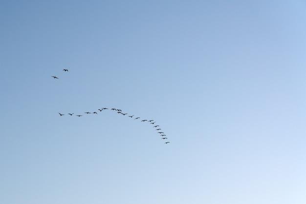 Стая перелетных птиц в полете