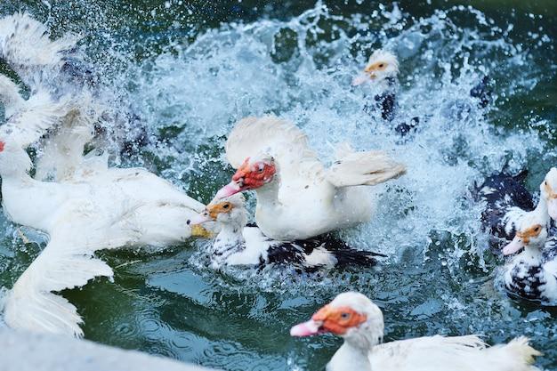 ムスクアヒルの群れが養鶏場の水で泳ぐ