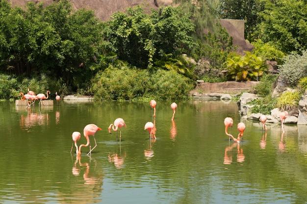 반사와 연못에 서있는 핑크 아름다운 플라밍고의 무리