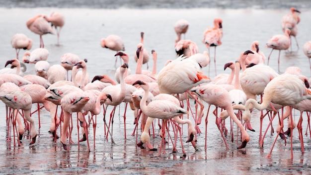 ナミビアのウォルビスベイにあるピンクのフラミンゴの群れ。