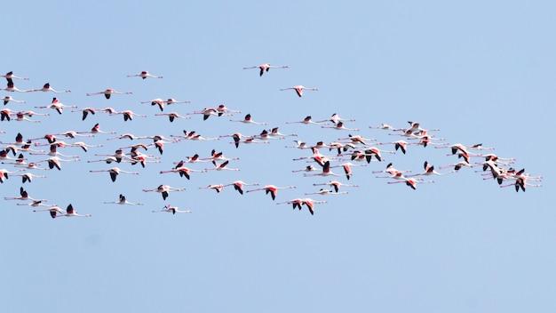 イタリアの「デルタデルポー」ラグーンからのピンクのフラミンゴの群れ。自然のパノラマ