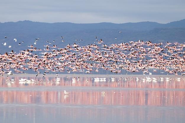 マニヤーラ湖のピンクのフラミンゴの群れ