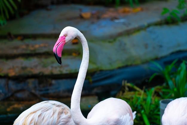 動物園の池のピンクのフラミンゴの群れ。