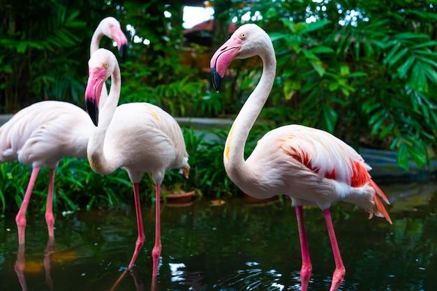 Стая розовых фламинго в пруду зоопарка.