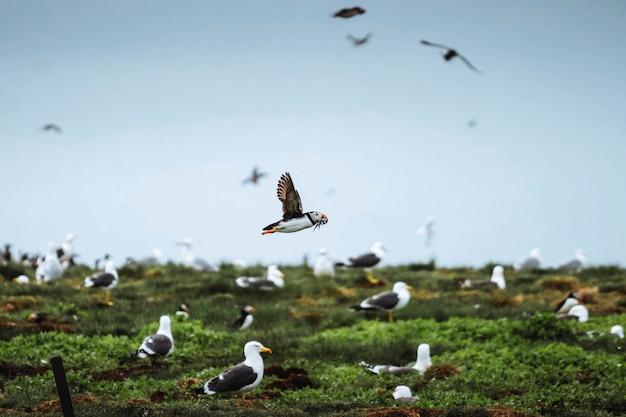 Стая морских птиц на островах фарн в нортумберленде, англия
