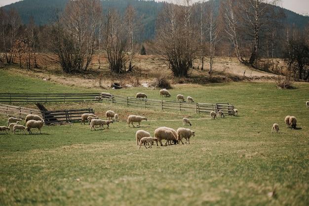Стадо овец пасется на склоне холма у подножия гор европы