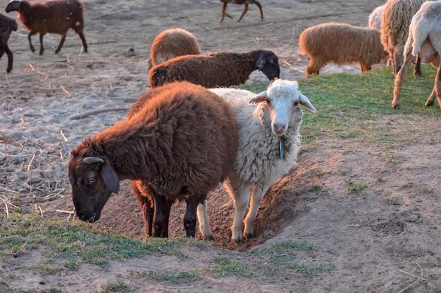 Стадо овец, пасущихся на холме. белый ягненок в стаде овец