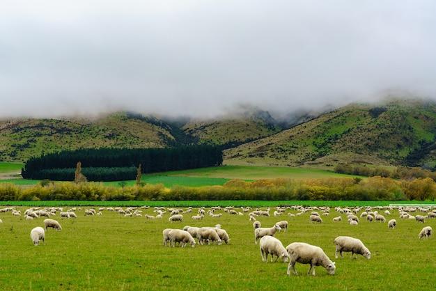 ニュージーランド南島の霧深い山の風景と野原で放牧している羊の群れ