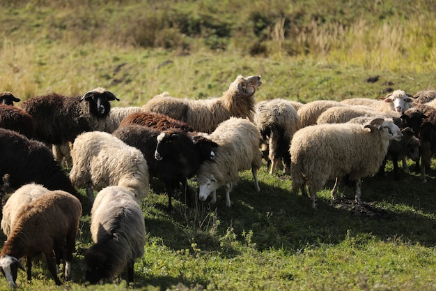 Стадо овец на зеленом лугу с любопытством смотрит в камеру. стадо овец на поле. выборочный фокус