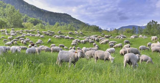 春の高山の緑の草原で羊の群れ