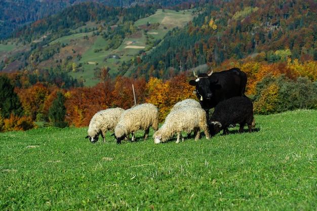 カルパティア山脈の羊の群れ
